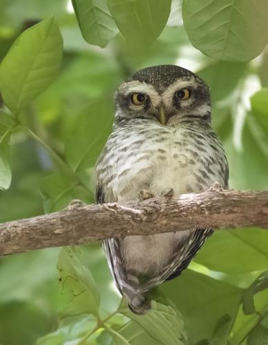 spotted-owlet