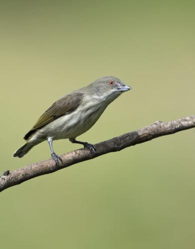 thick-billed-flowerpecker-2