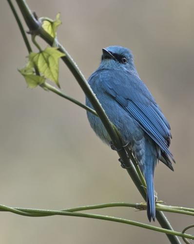 verditer-flycatcher