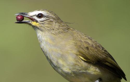 yellow-browed-bulbul-with-berries